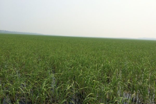 Perfect harvest wild rice year